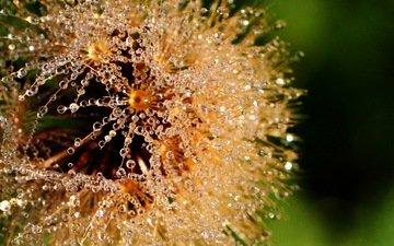 макро, цветок, роса, капли, воды, одуванчик, пушинки, lorraine, росинки