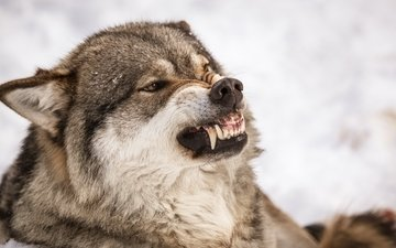 природа, хищник, зубы, оскал, волк