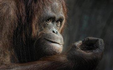 взгляд, животное, обезьяна, примат, орангутанг, ellen-ow
