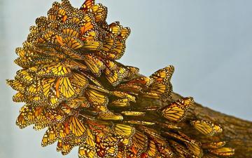 крылья, насекомые, бабочки, желто-черные, монарх