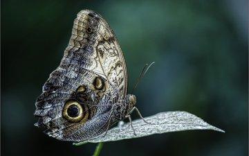макро, насекомое, фон, бабочка, крылья, лист, растение, темный, калиго, бабочка-сова, francesc/francisco, бабочка-сова калиго, бабочка-сова калиго.