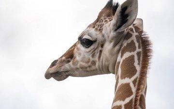 природа, фон, жираф, голова, шея