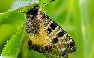 листья, макро, бабочка, крылья, насекомые, растение, ziva & amir, archon apollinus
