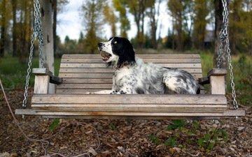 осень, собака, скамейка, качели, английский сеттер
