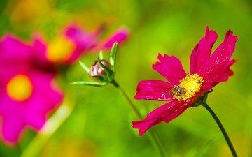 цветы, насекомое, лепестки, растение, пчела