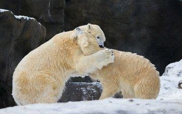 скалы, снег, зима, борьба, игра, пара, белые, хищники, медведи, драка, полярные, разборка