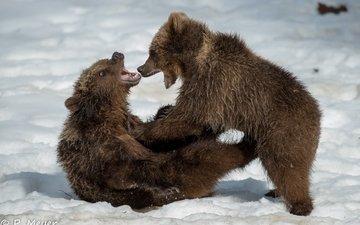 снег, зима, борьба, парочка, игра, малыши, оскал, пасть, медведи, драка, детеныши, сердитый, медвежата