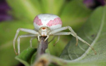 зелёный, макро, насекомое, лист, паук, бело-розовый