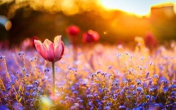 цветы, закат, поле, тюльпан, незабудки, полевые