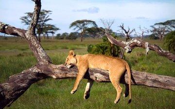 дерево, спит, африка, лев, львица, серенгети, танзания
