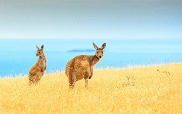 небо, синий, море, поле, горизонт, островок, кенгуру, живая природа