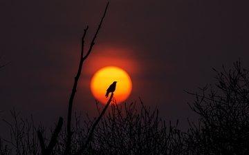 солнце, природа, дерево, закат, ветви, птица, силуэт