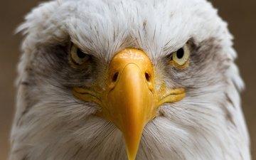 портрет, птица, клюв, белоголовый орлан