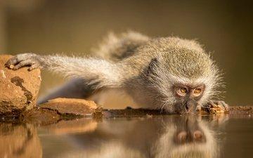 обезьяна, водопой, макака, южная африка, зиманга