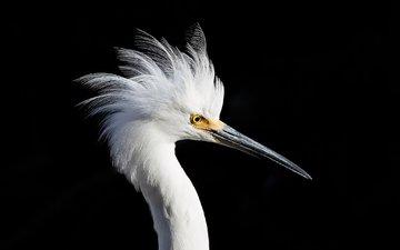bird, beak, black background, white, heron, snowy egret