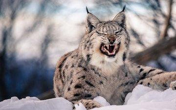 морда, снег, зима, рысь, клыки, хищник, оскал, пасть, дикая кошка