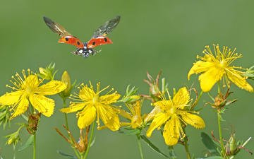 flowers, macro, insect, flight, wings, ladybug, yellow