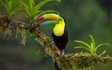 ветка, птица, тукан, клюв, дождь, джунгли, радужный