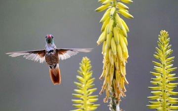 цветы, крылья, птица, желтые, колибри, птаха