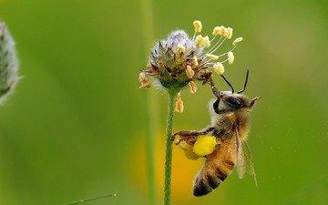 макро, насекомое, цветок, пчела, мед, нектар, ziva & amir