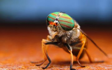 глаза, макро, насекомое, лапки, муха