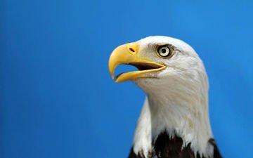 птица, клюв, белоголовый орлан, хищная