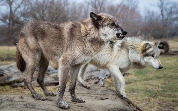 снег, поза, клыки, профиль, пара, хищники, оскал, волки, бревно