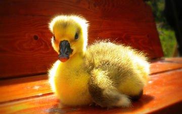 птица, утка, утенок, желтый.птенец