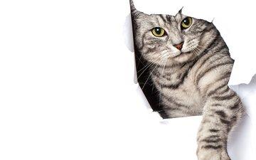кот, кошка, бумага, серый, белый фон, лапа, полосатый