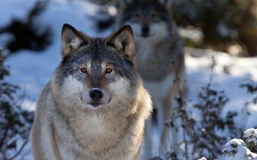 лес, зима, хищник, волки, волк