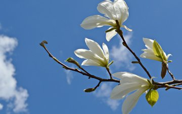 the sky, flowers, clouds, branch, magnolia