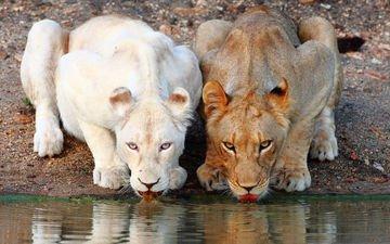 львы, коричневая, белая, водопой, львицы