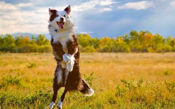 nature, dog, jump, language, the border collie