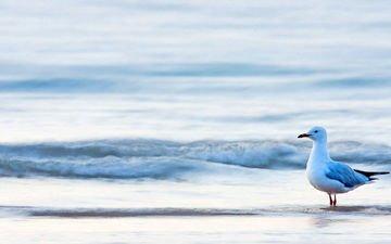 море, чайка, птица