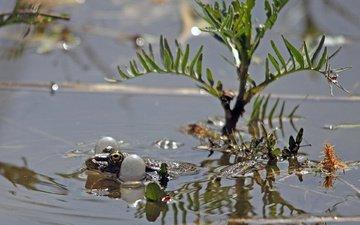 глаза, болото, лягушка, воздух, мешки, жаба, плывет