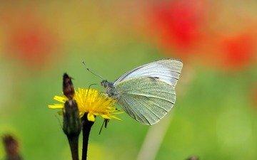 желтый, макро, насекомое, цветок, бабочка, белая, ziva & amir