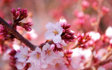 flowers, nature, flowering, macro, spring, cherry