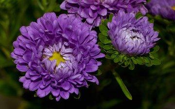 цветение, лепестки, бутон, сиреневая, астра, тульпаны, цветы, блум, красочная, and many