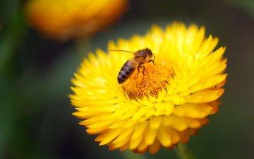 желтый, макро, насекомое, цветок, пчела
