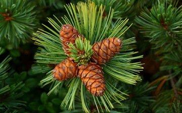 дерево, зелень, хвоя, шишки, иголки, кедр, грин, siberian pine, cones