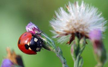 жук, макро, насекомое, цветок, божья коровка, ziva & amir