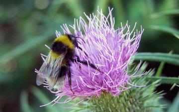 макро, насекомое, цветок, пчела, шмель
