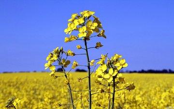the sky, flowers, landscape, field, plant, rape