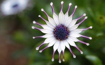 фокус камеры, макро, цветок, лепестки, белые, фиолетовые, маргаритка, африканская