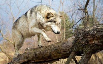 морда, хищник, прогулка, лапа, мех, бревно, волк, идёт