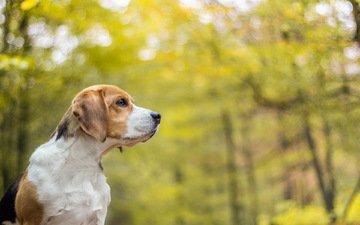 морда, взгляд, собака, друг, уши, бигль