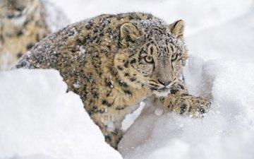 морда, снег, зима, смотрит, хищник, лапа, снежный барс, ирбис, зоопарк, дикая кошка, молодой, детеныш, снежный леопард