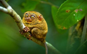 глаза, примат, долгопят