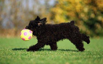 трава, черный, собака, щенок, игра, мяч, терьер