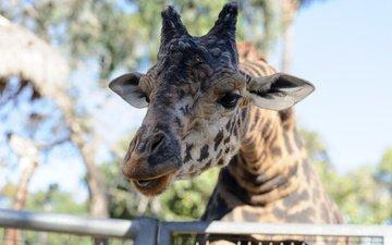 морда, свет, портрет, пятна, жираф, зоопарк